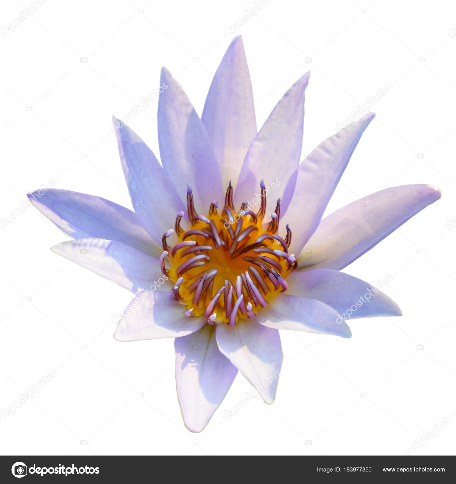 White and purple lotus flower blooming isolated on white backgro white and purple lotus flower blooming isolated on white backgro stock photo izmirmasajfo