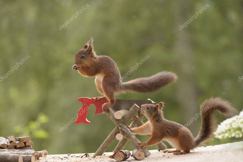 squirrels with an saw