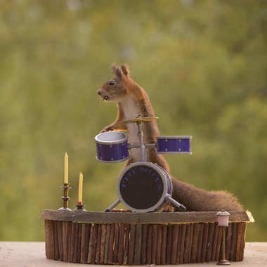 squirrel standing behind a Drum Kit