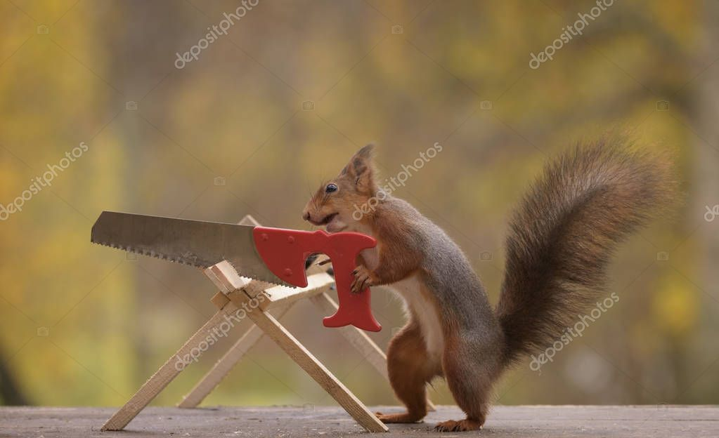 red squirrel holding a saw