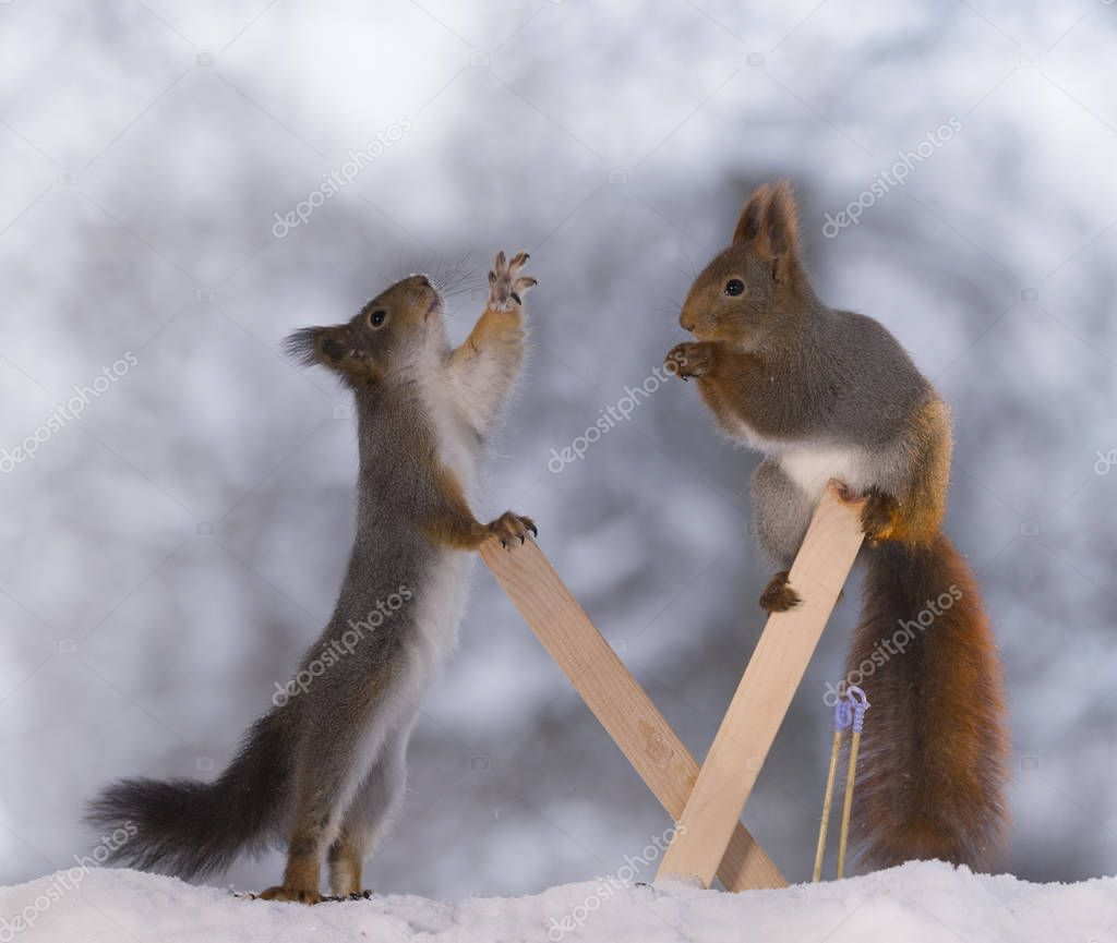 red squirrels together with skis