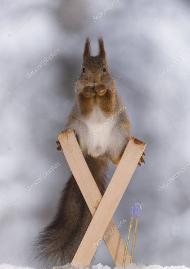 red squirrel balancing on  skis in a split
