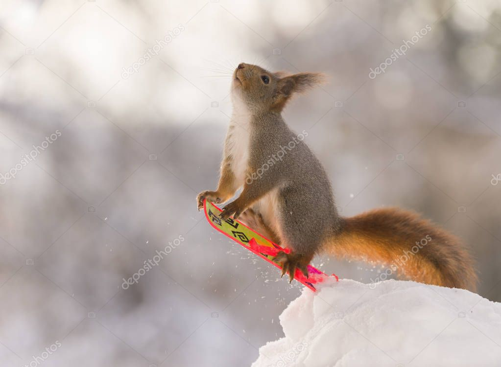 red squirrel on a  Snowboard