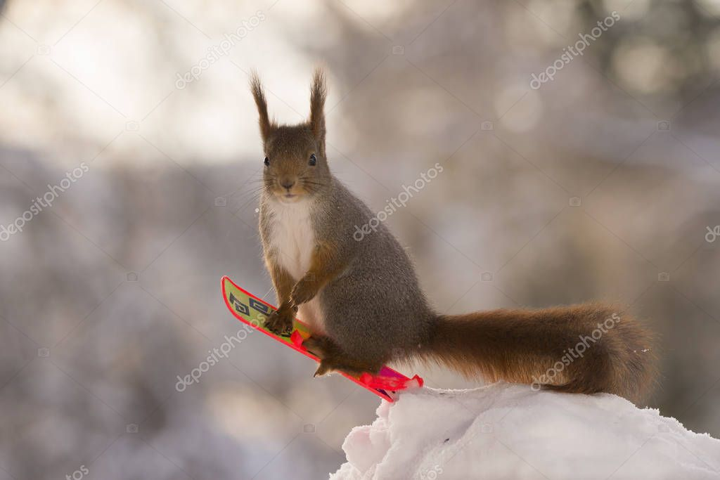 red squirrel on Snowboard looking at viewer