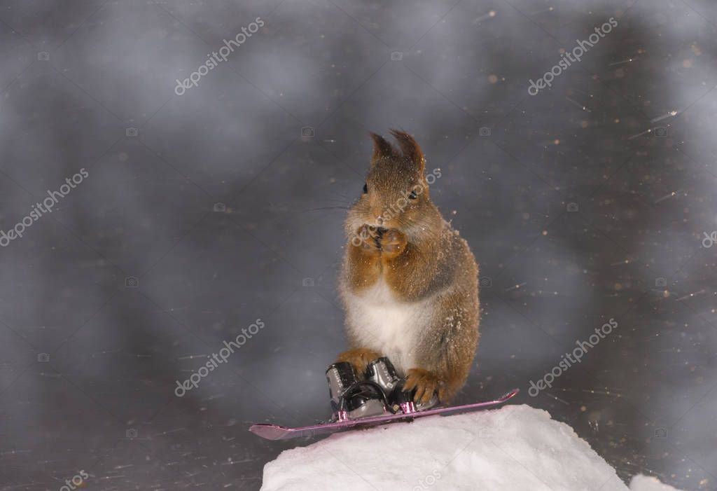 red squirrel stand on Snowboard in snowstorm