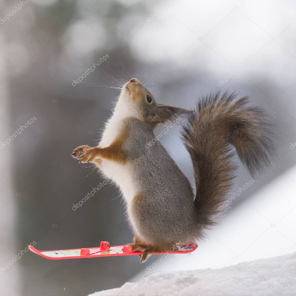 red squirrel on Snowboard
