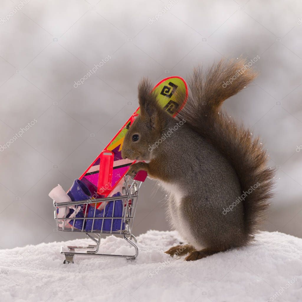 red squirrel stands with a shopping cart in winter