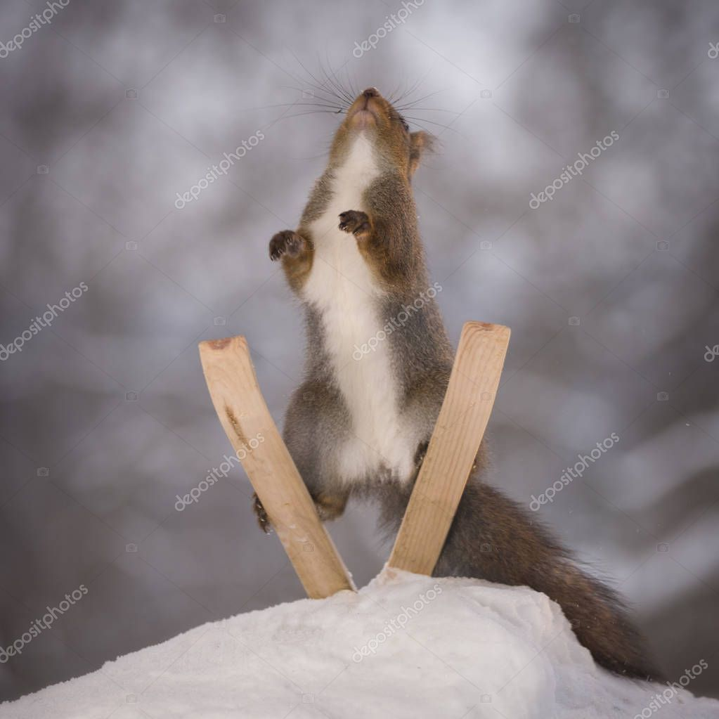 red squirrel standing on skis jumping