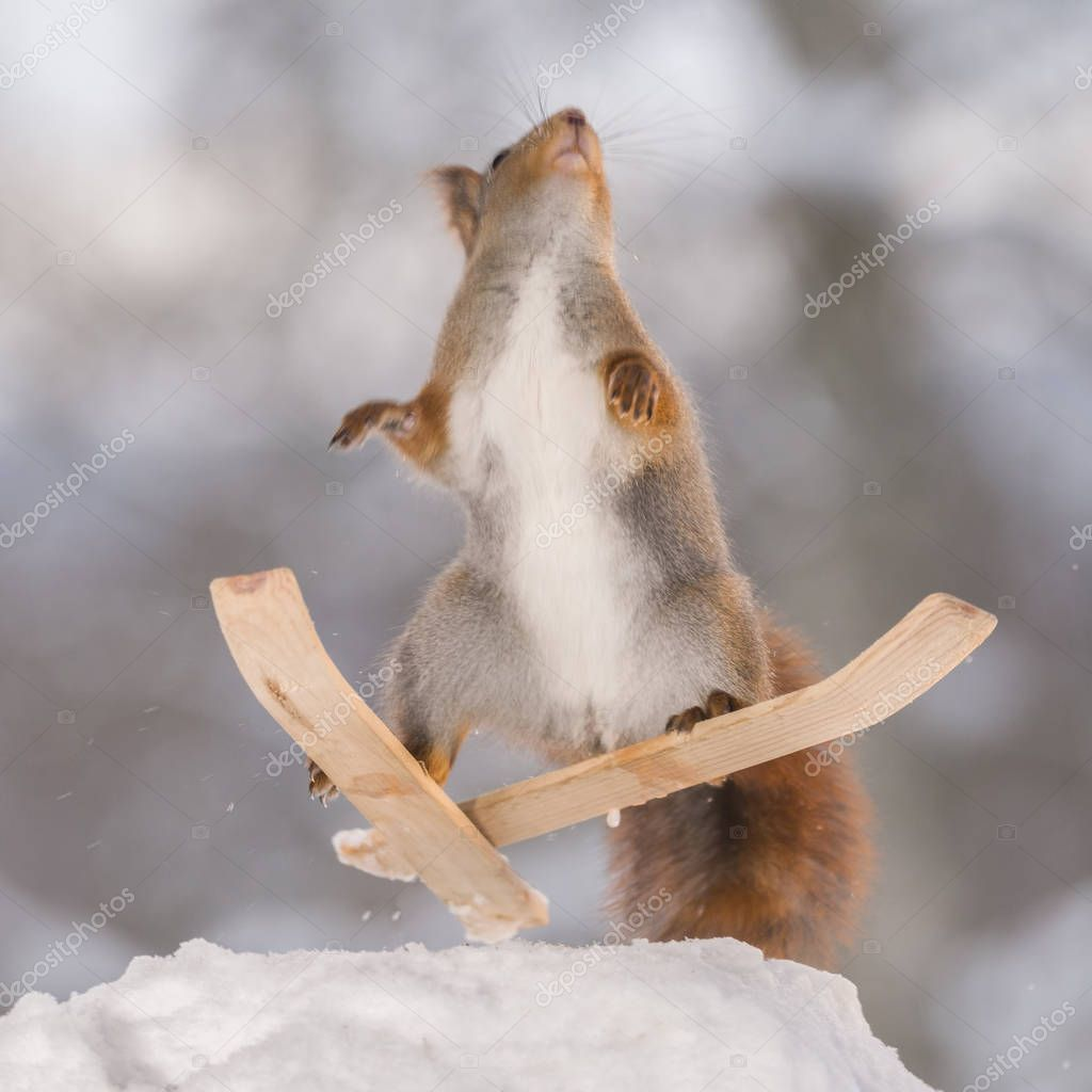red squirrel jumps on skis in the air