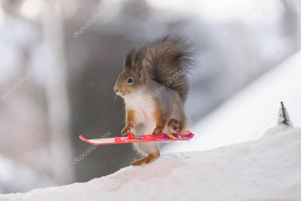 red squirrel with Snowboard looking