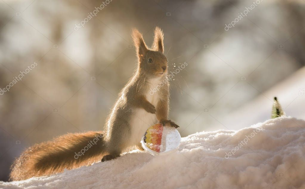 red squirrel touching a  Snowboard