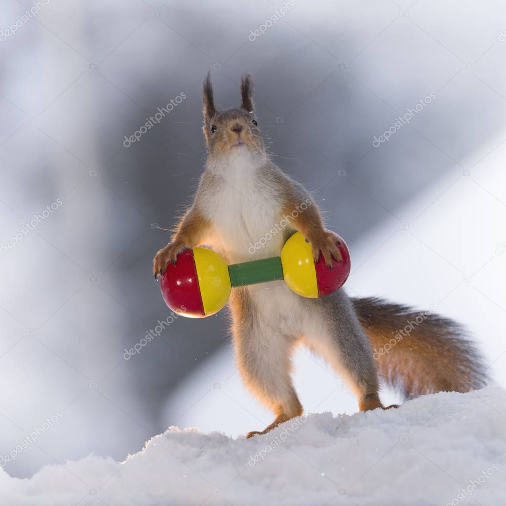 red squirrel in snow is weightlifting