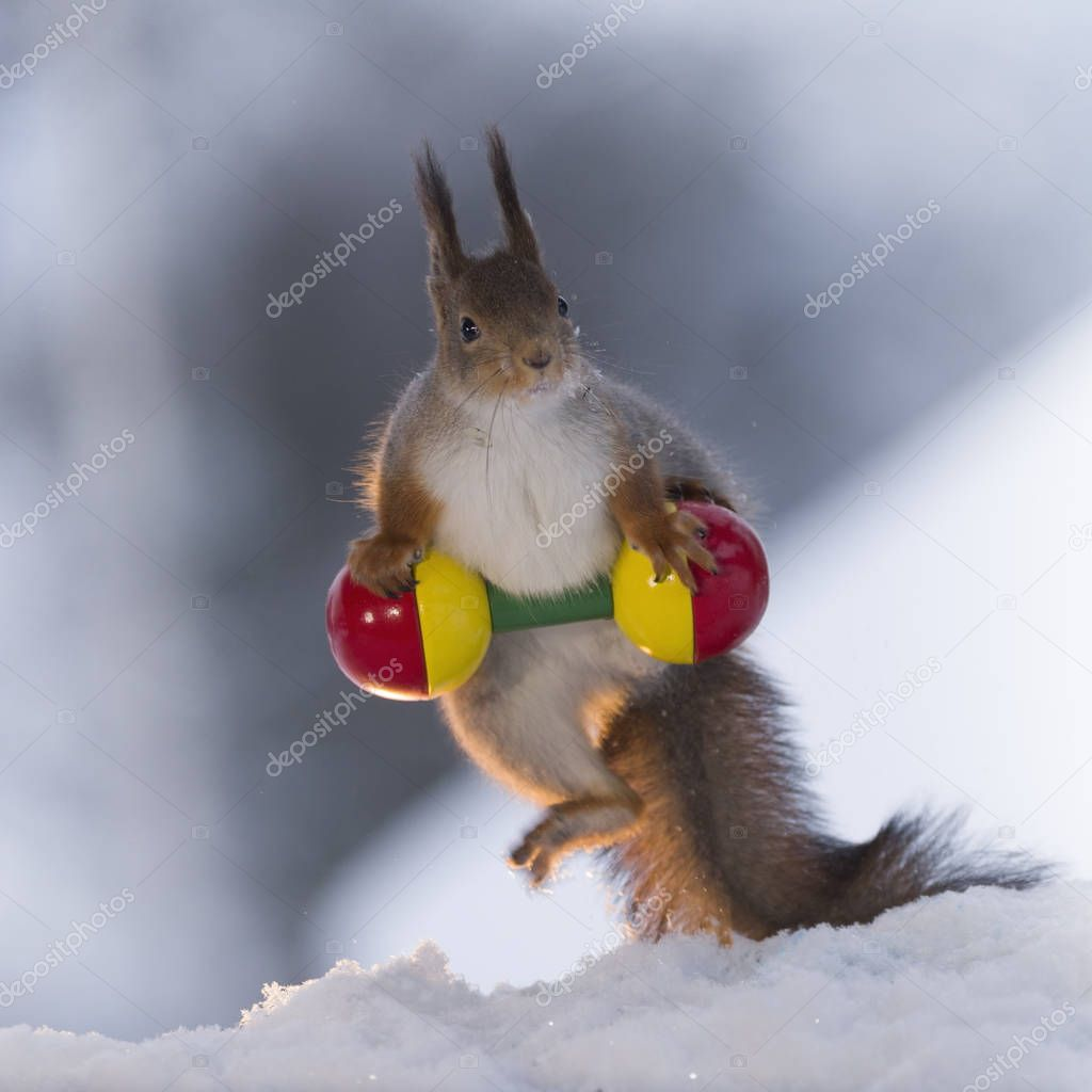 red squirrel weightlifting in the snow