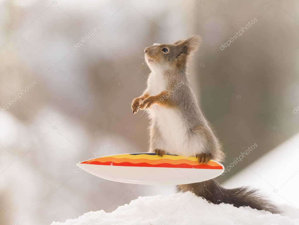 red squirrel stand and balance on a  Snowboard