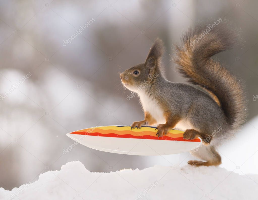 red squirrel climbing on a  Snowboard