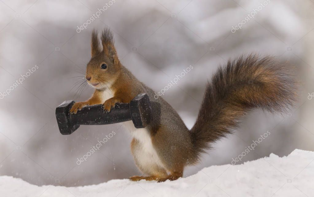 red squirrel standing in the snow with a weight