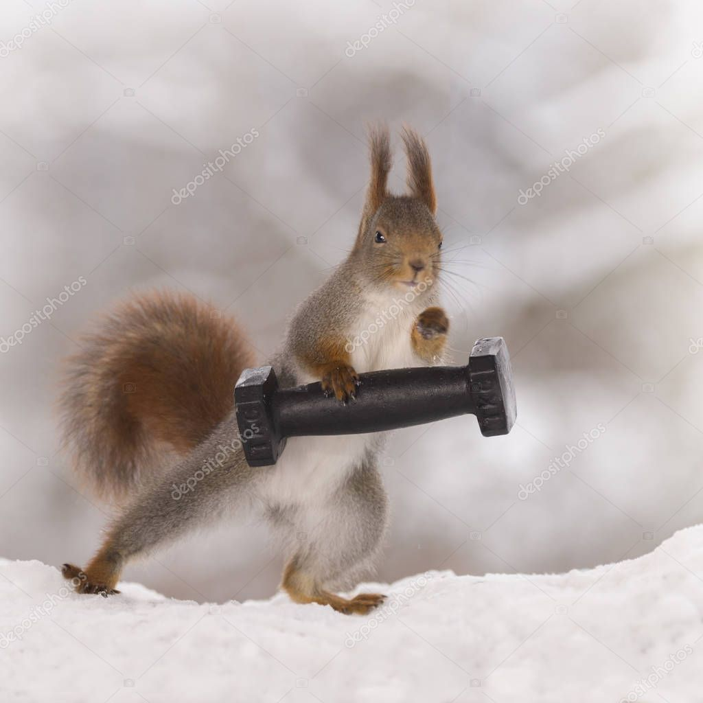 red squirrel in the snow is weightlifting