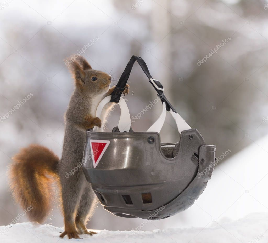 red squirrel holding a helmet