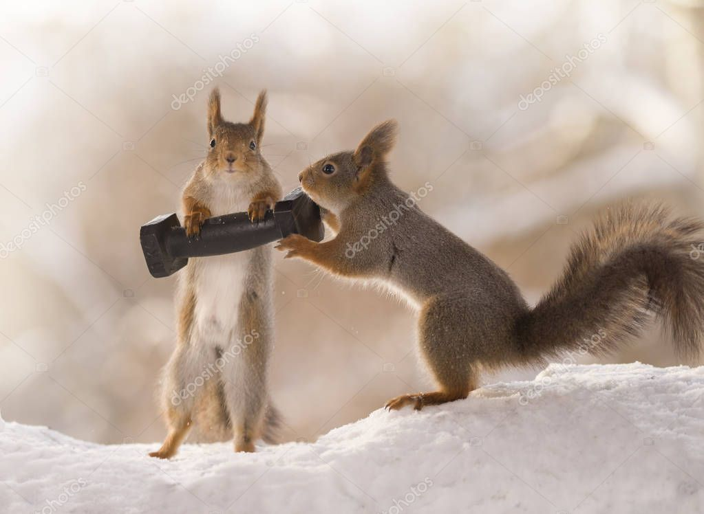 red squirrels in the snow holding kilo weight