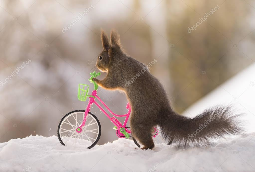red squirrel is holding an bicycle