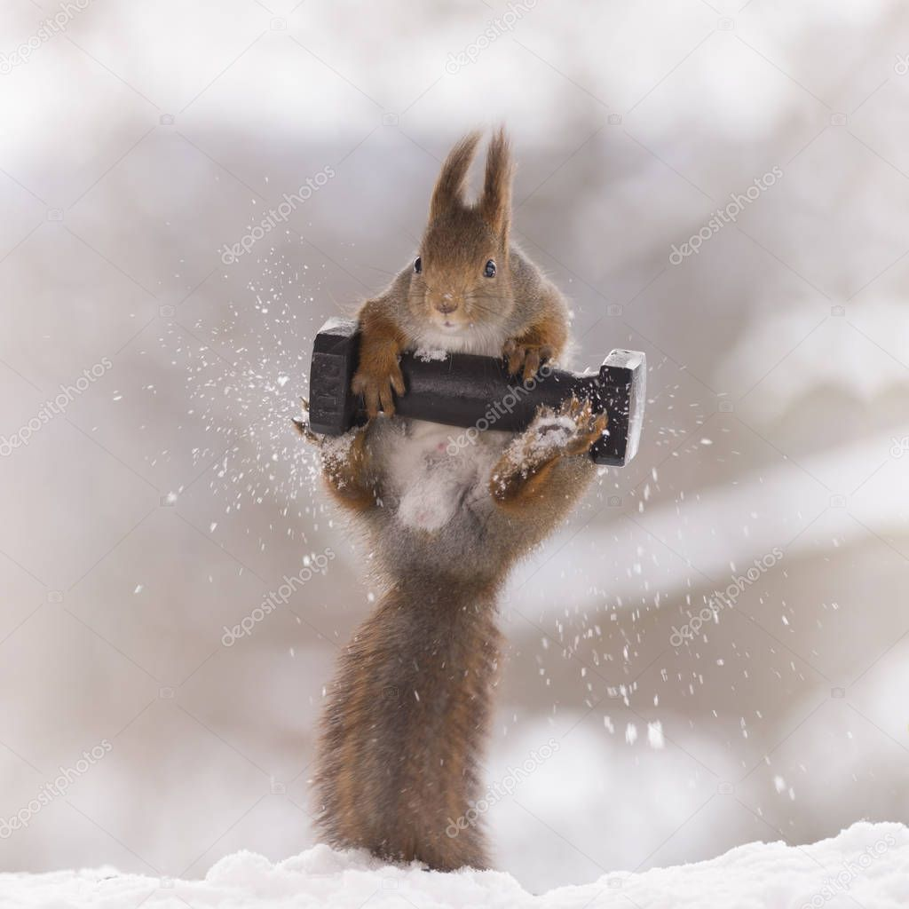 red squirrel jumping with a weight
