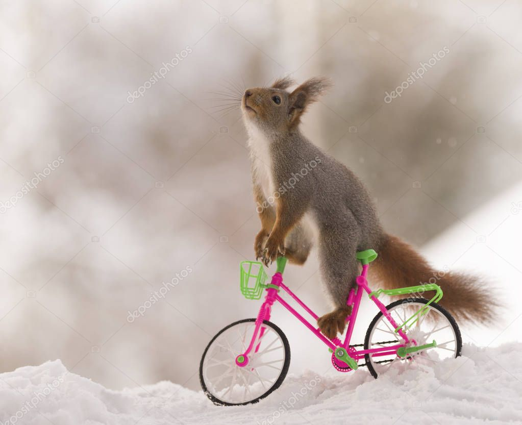 red squirrel sitting on a bicycle