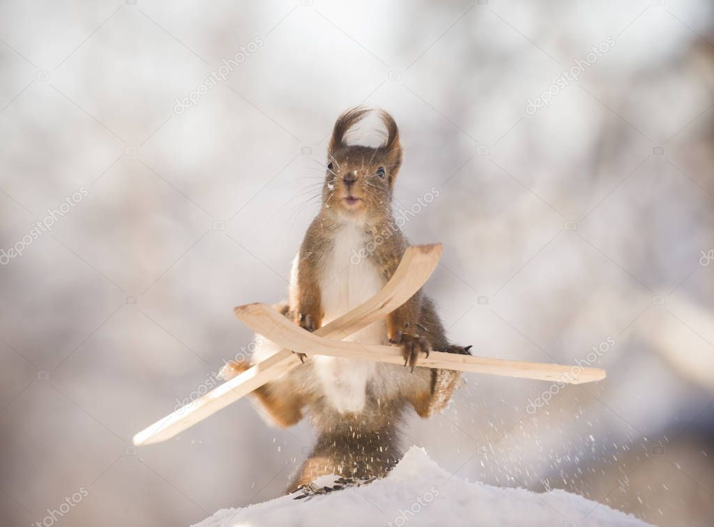 red squirrel doing acrobatics on skis