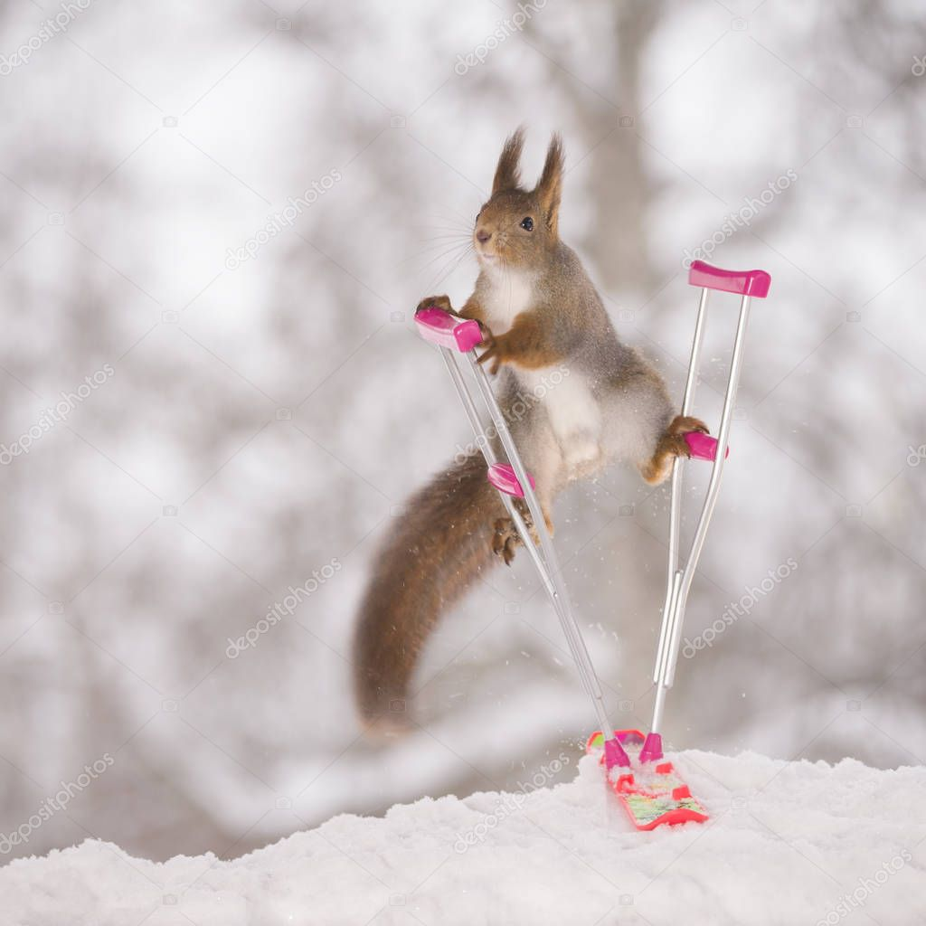 red squirrel between crutches and snowboard