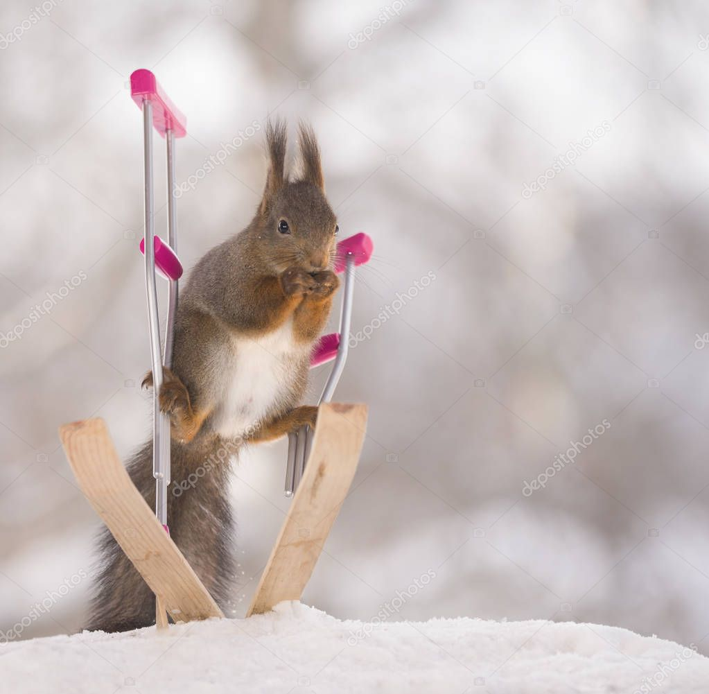 red squirrel standing on crutches and skis