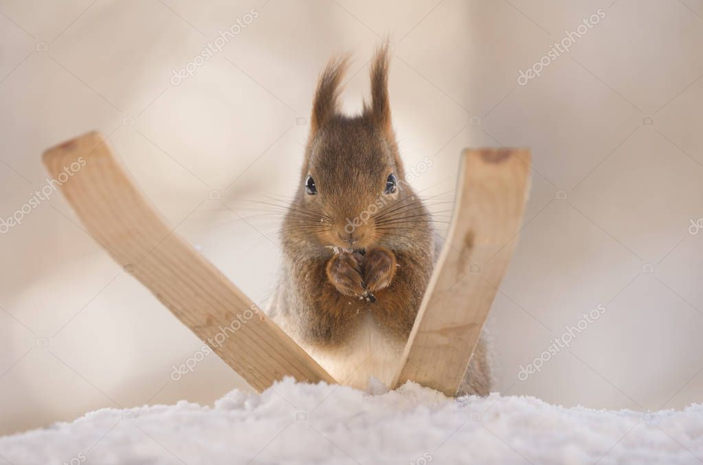 red squirrel standing on skis