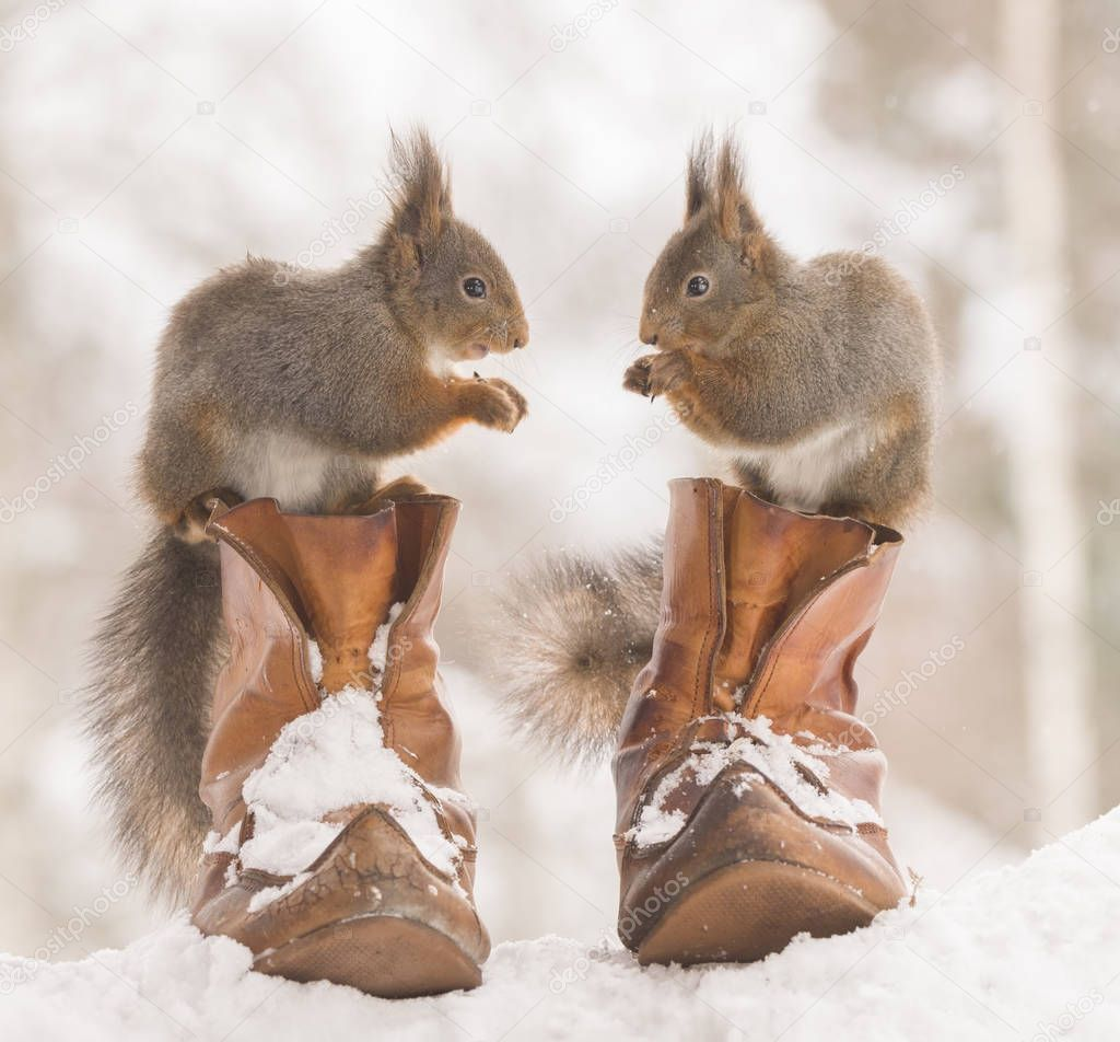 red squirrels are standing on shoes in snow
