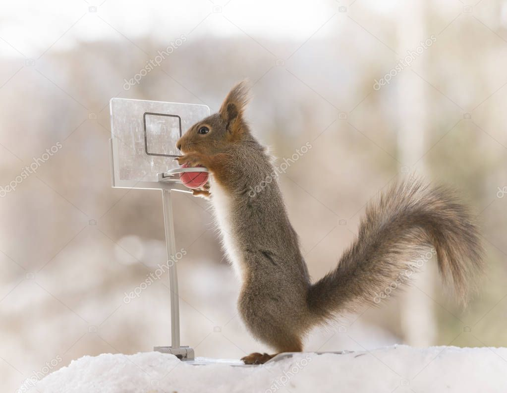 red squirrel holding a basketball with backboard