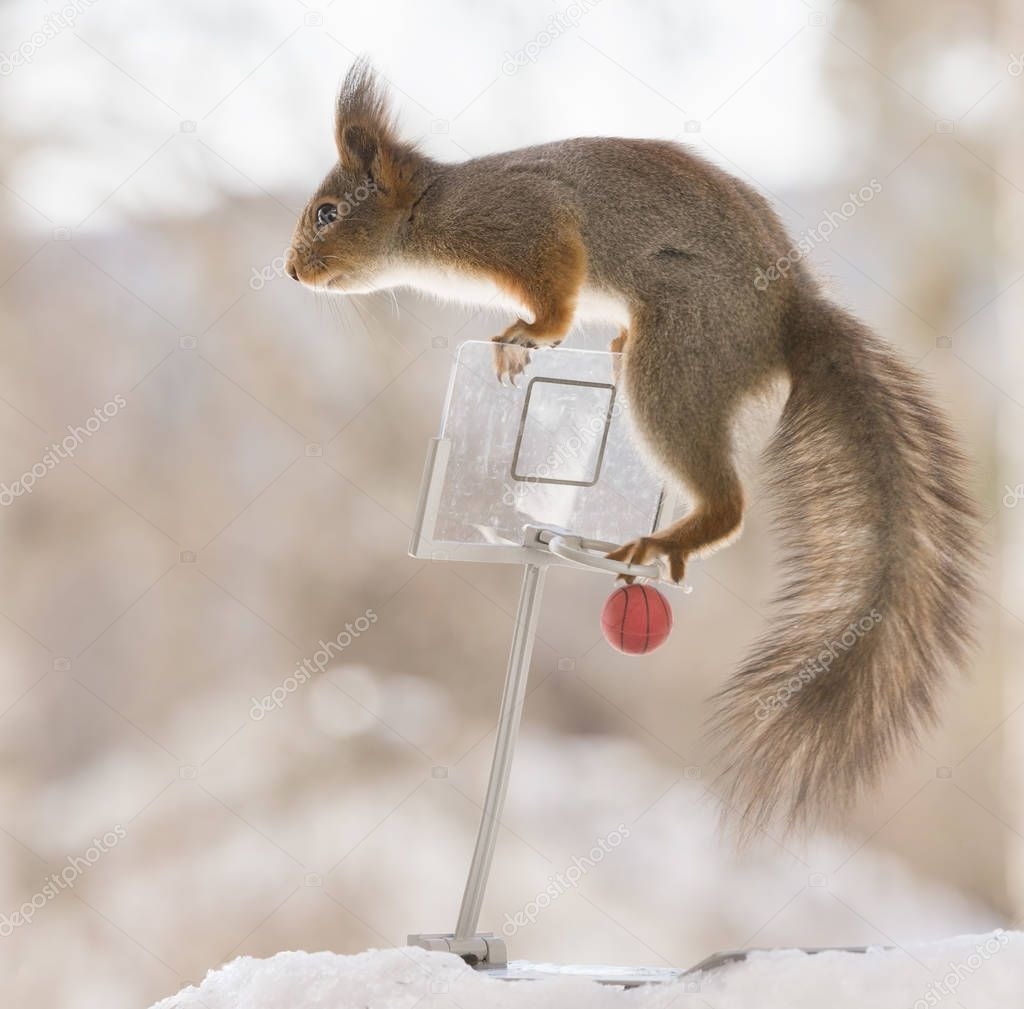 red squirrel climbing  backboard with basketball