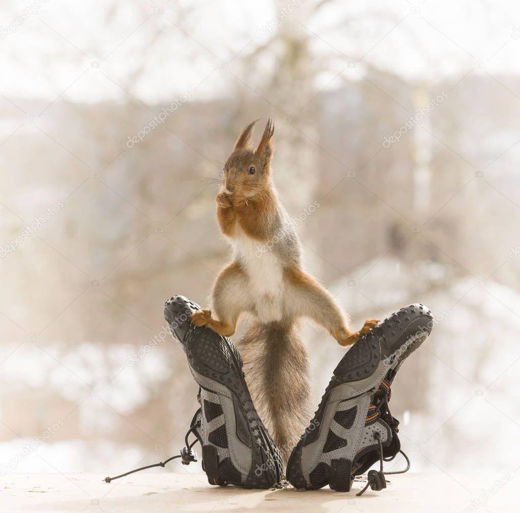 red squirrel in split between sport shoes