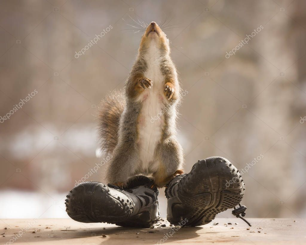 red squirrel  on sport shoes looking up