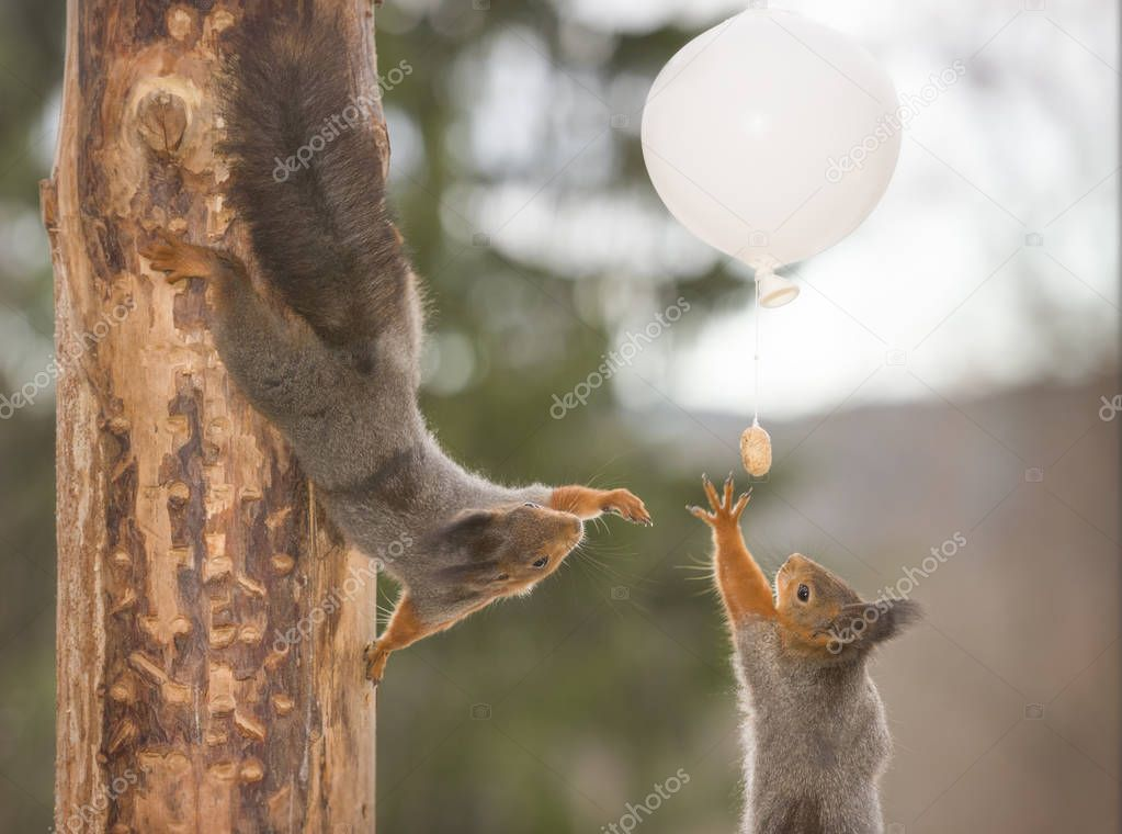 red squirrels are reaching an white balloon