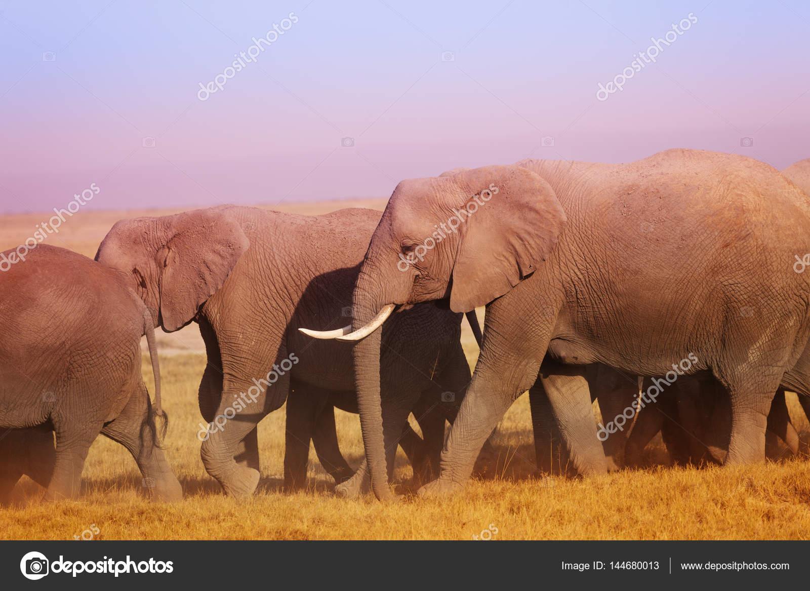 Afrikanische Elefanten zu Fuß zur Tränke — Stockfoto © serrnovik ...