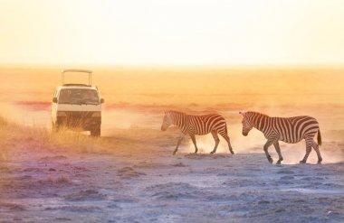 zebras walking at savannah near safari jeap