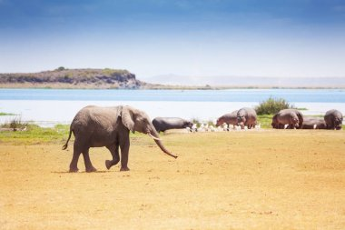 African elephant walking near watering place