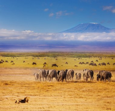 African lion watching over elephants and wildebeests