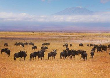 Big herd of wildebeests pasturing