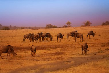 Herd of wildebeests during Great Migration