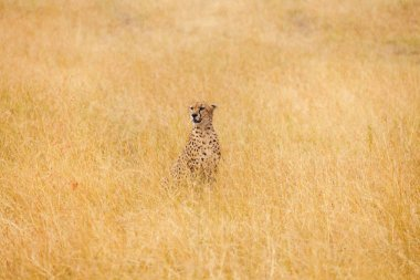 African cheetah sitting in long grass