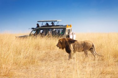 beautiful big lion at safari park