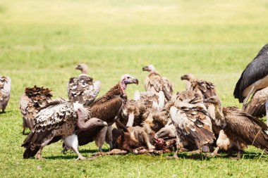 Marabou stork and vultures in savannah