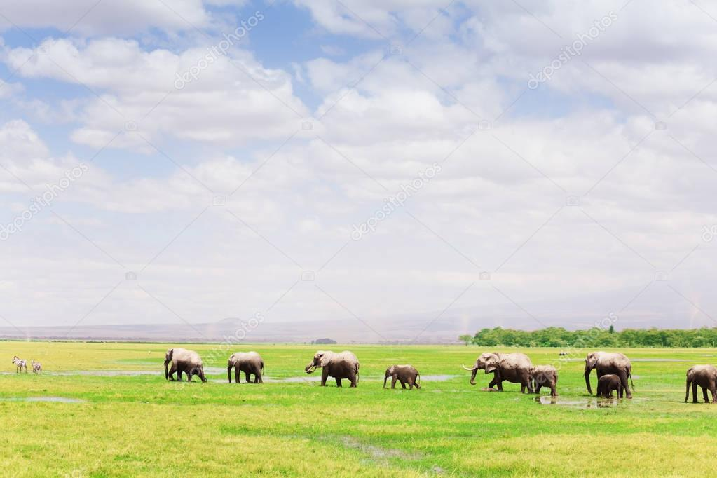 herd of African elephants with cubs walking