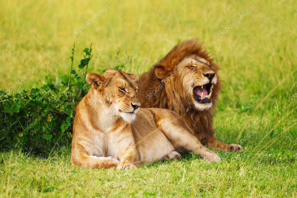 lion and lioness resting at safari park