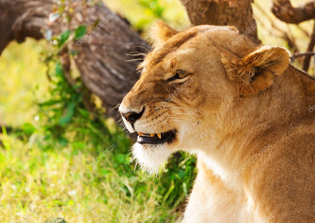 Beautiful African lioness on nature