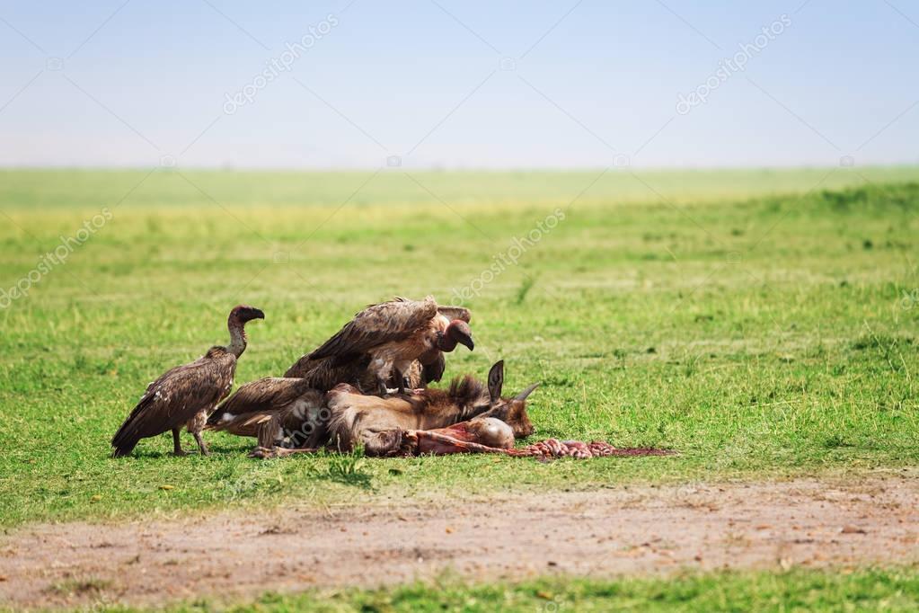 Vultures flight on wildebeest carcass