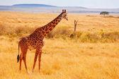 Fotografie Kenyan savannah with giraffe